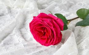 Картинка цветок, фон, роза, ткань