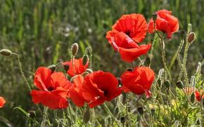 Картинка поле, лето, цветы, крупный план, природа, мак, маки, красота, лепестки, красные, алые, зеленый фон, маковое …