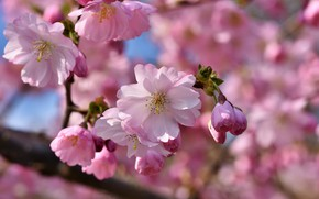 Картинка цветок, цветы, яблоня, flower, flowers, Apple tree