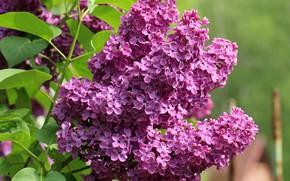 Картинка цветы, фон, ветка, весна, цветение, сирень, соцветия