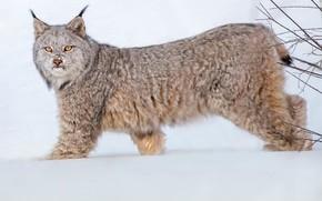 Картинка взгляд, рысь, снег, дикая кошка