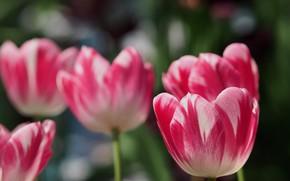 Картинка цветы, весна, тюльпаны, розовые