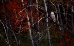 Картинка птица, ветка, филин