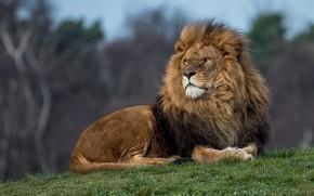 Картинка трава, взгляд, морда, природа, поза, лев, холм, царь зверей, лежит