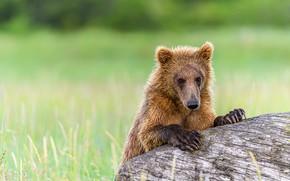 Картинка поле, морда, портрет, медведь, мишка, бревно