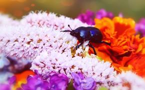 Картинка лето, макро, цветы, синий, фон, черный, яркие, жук, насекомое, розовые, оранжевые, сиреневые
