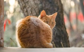 Картинка со спины, оглянулась, рыжая кошка, размытость боке
