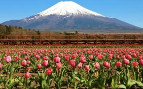 Картинка гора, тюльпаны, розовые