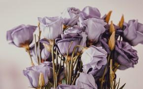 Картинка цветы, фон, букет, фиолетовые, бутоны, сиреневые, эустома