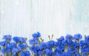 Картинка цветы, фон, синие, васильки