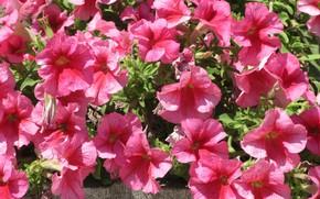 Картинка цветы, розовые, петуния, петунии, Mamala ©, лето 2018