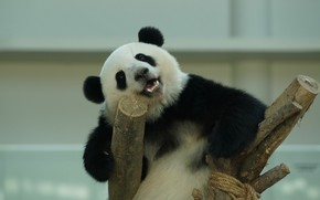 Картинка взгляд, морда, поза, улыбка, фон, медведь, панда, медвежонок, коряга, сидит, зоопарк, довольный, руки в боки