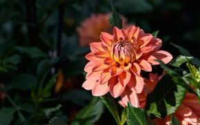 Картинка цветок, листья, свет, цветы, темный фон, оранжевая, сад, георгина, георгины