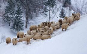 Картинка зима, горы, овцы, отара