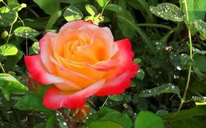 Картинка лето, трава, роса, дождь, Роза