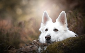 Картинка взгляд, морда, мох, портрет, собака, бревно, уши, боке, Белая швейцарская овчарка