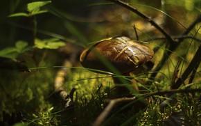 Картинка трава, свет, гриб, боке, масленок