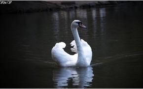 Картинка Лебедь, Озеро, Красота