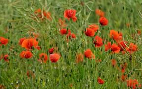 Картинка лето, цветы, маки, красные, зеленый фон