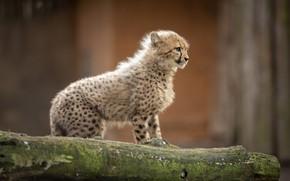 Картинка взгляд, поза, котенок, малыш, гепард, детеныш