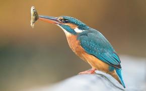 Картинка фон, птица, рыбка, рыба, ветка, птичка, добыча, зимородок, яркое оперение, трапеза, пташка