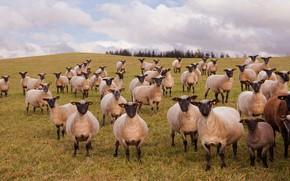 Картинка поле, небо, трава, взгляд, облака, овцы, пастбище, холм, овечки, много, забавные, морды, стадо, отара, домашний …
