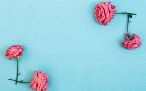 Картинка цветы, розы, розовые, pink, flowers, beautiful, голубой фон, roses