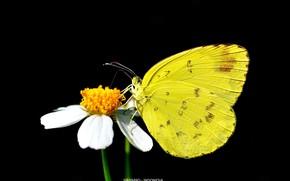 Картинка бабочка, чёрный фон, жёлтая бабочка