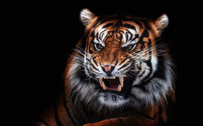 Обои глаза, взгляд, морда, крупный план, тигр, портрет, пасть, клыки, злой, черный фон, недовольный, агрессия, дикая ...