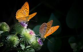 Картинка бабочки, колючки, парочка
