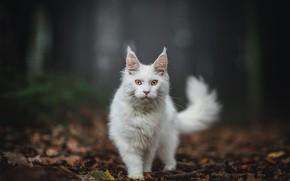 Картинка осень, лес, кошка, белый, кот, взгляд, листья, природа, поза, темный фон, хвост, прогулка, стоит, мордашка, …