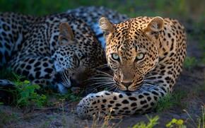 Картинка взгляд, морда, свет, отдых, сон, портрет, тень, леопард, пара, два, леопарды, лежат, два леопарда