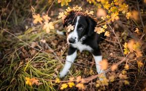 Картинка осень, трава, взгляд, листья, ветки, природа, поза, фон, заросли, черно-белый, собака, лапы, малыш, щенок, мордашка, …