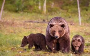 Картинка лето, взгляд, природа, поляна, медведь, медведи, три, медвежонок, прогулка, медвежата, трио, мишки, медведица, троица, бурые, …