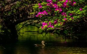 Картинка свет, цветы, ветки, птица, розовые, утка, водоем, азалия, рододендроны