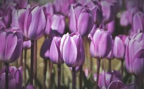 Картинка цветы, поляна, весна, тюльпаны, нежные, бутоны, клумба, много, сиреневые