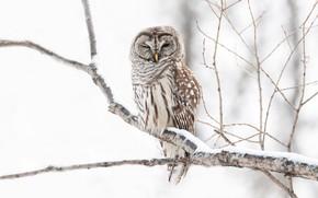 Картинка зима, снег, ветки, дерево, сова, птица, светлый фон, неясыть