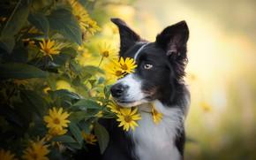 Картинка глаза, взгляд, морда, листья, цветы, природа, портрет, собака, желтые, сад, черная, желтый фон, бордер-колли
