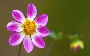 Обои цветок, фон, розовый, георгина