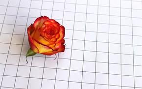 Картинка цветок, цветы, роза, клетка, чайная роза, flover