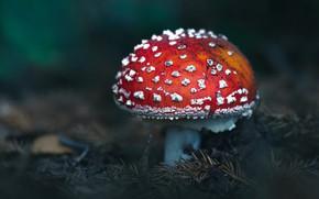 Картинка темный фон, гриб, мухомор