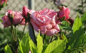 Картинка Цветы, Куст, Розовые, Розы, Клумба, Meduzanol ©, Лето 2018