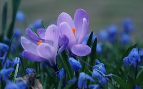 Картинка трава, весна, лепестки, крокусы, цветение