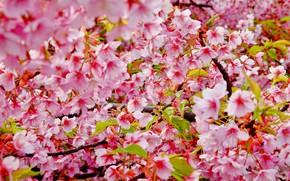 Картинка ветки, вишня, цвет, весна, сакура, blossom, cherry, spring