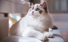 Картинка кошка, белый, кот, взгляд, морда, свет, скамейка, котенок, фон, портрет, светлый, лежит, котёнок, голубые глаза, …