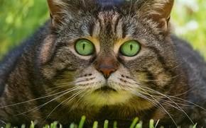 Картинка трава, кот, взгляд, мордашка, котэ, глазища, котофеич