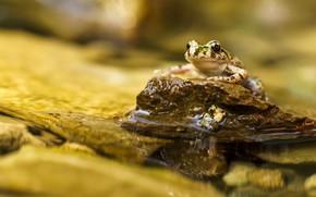Картинка макро, фон, лягушка, водоем, вода, камень, пруд