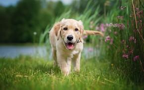 Картинка язык, лето, трава, цветы, природа, берег, собака, малыш, щенок, прогулка, лабрадор, водоем, ретривер