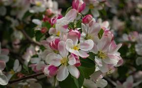 Картинка Весна, Яблоня, цветение