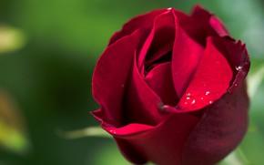 Картинка крупный план, красная роза, зелёный фон